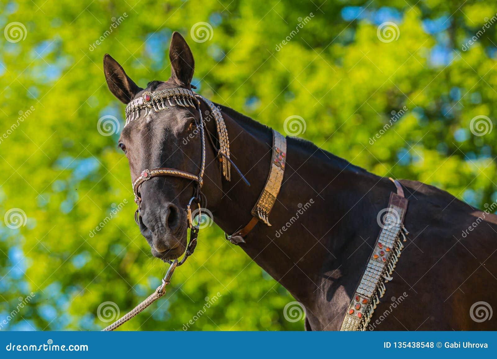 Dark brown akhal teke warm blood horse