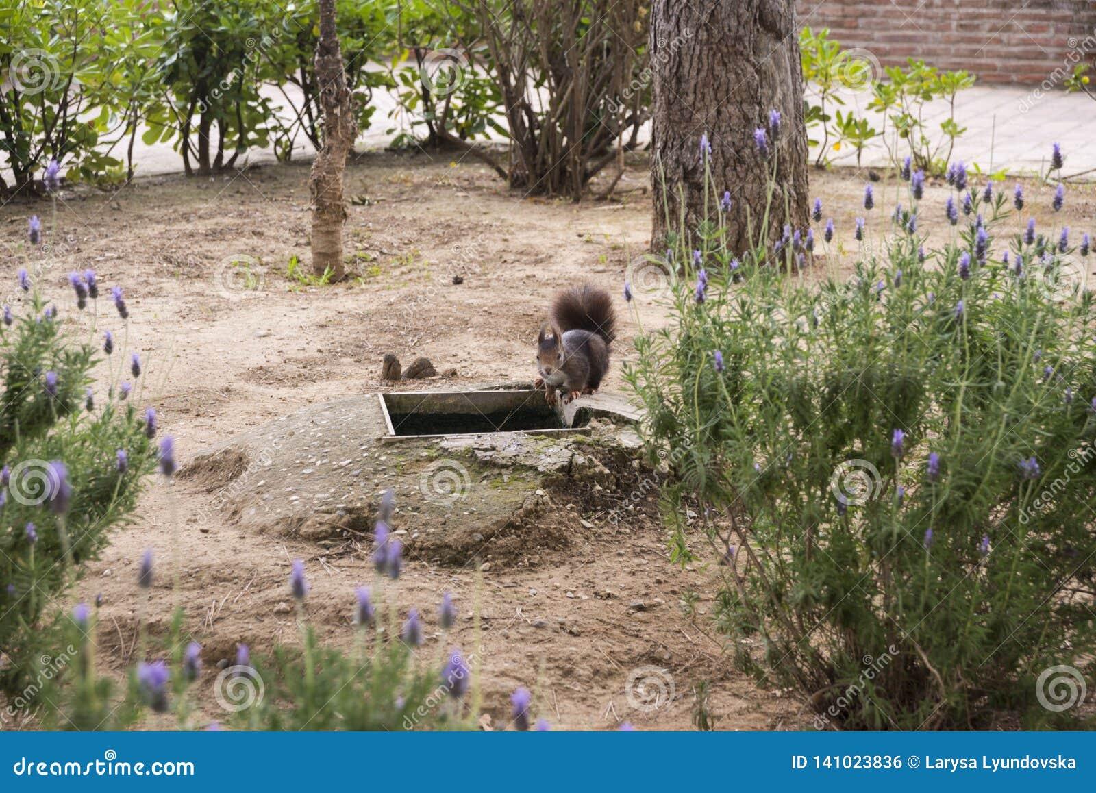 Dark brown fluffy squirrel in the park.