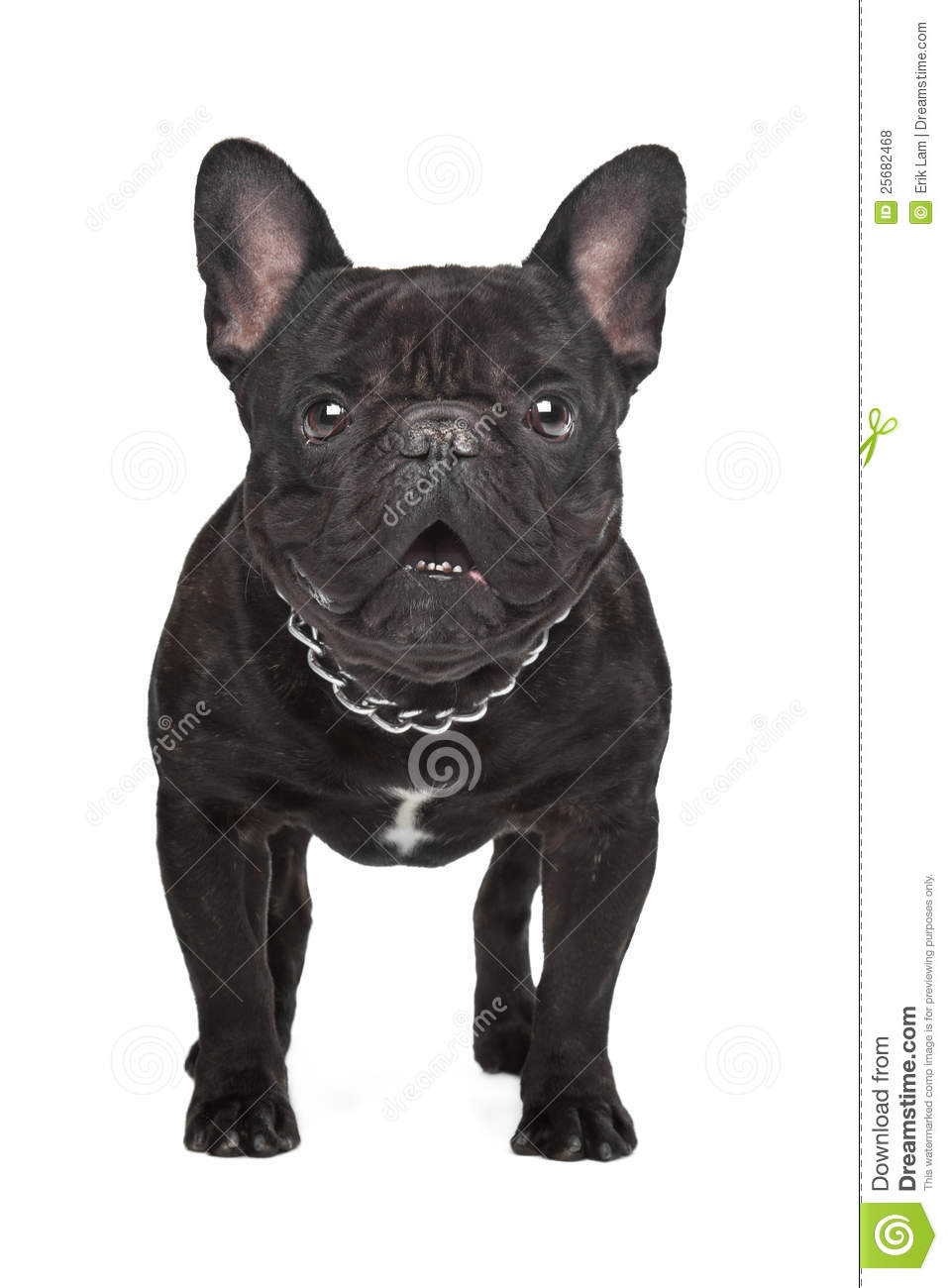Bron France  city photos gallery : Dark Brown French Bulldog Royalty Free Stock Photos Image: 25682468