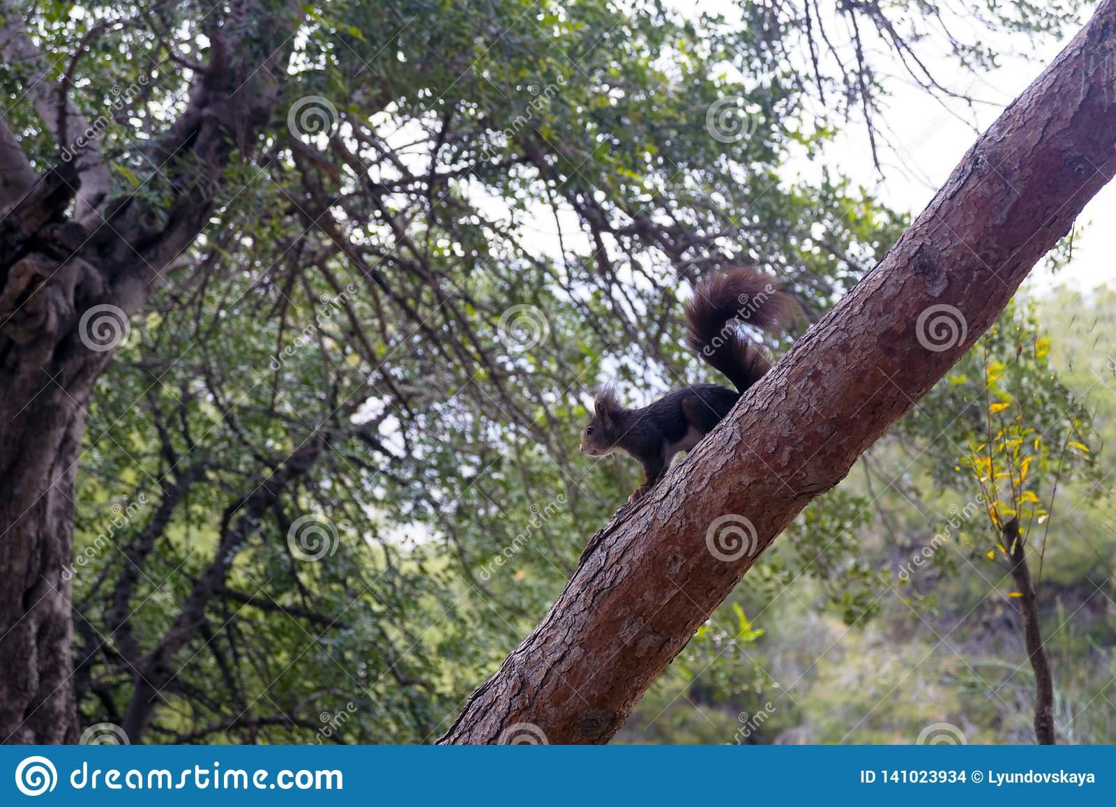 A dark brown furry squirrel sits on a large pine tree in a park.