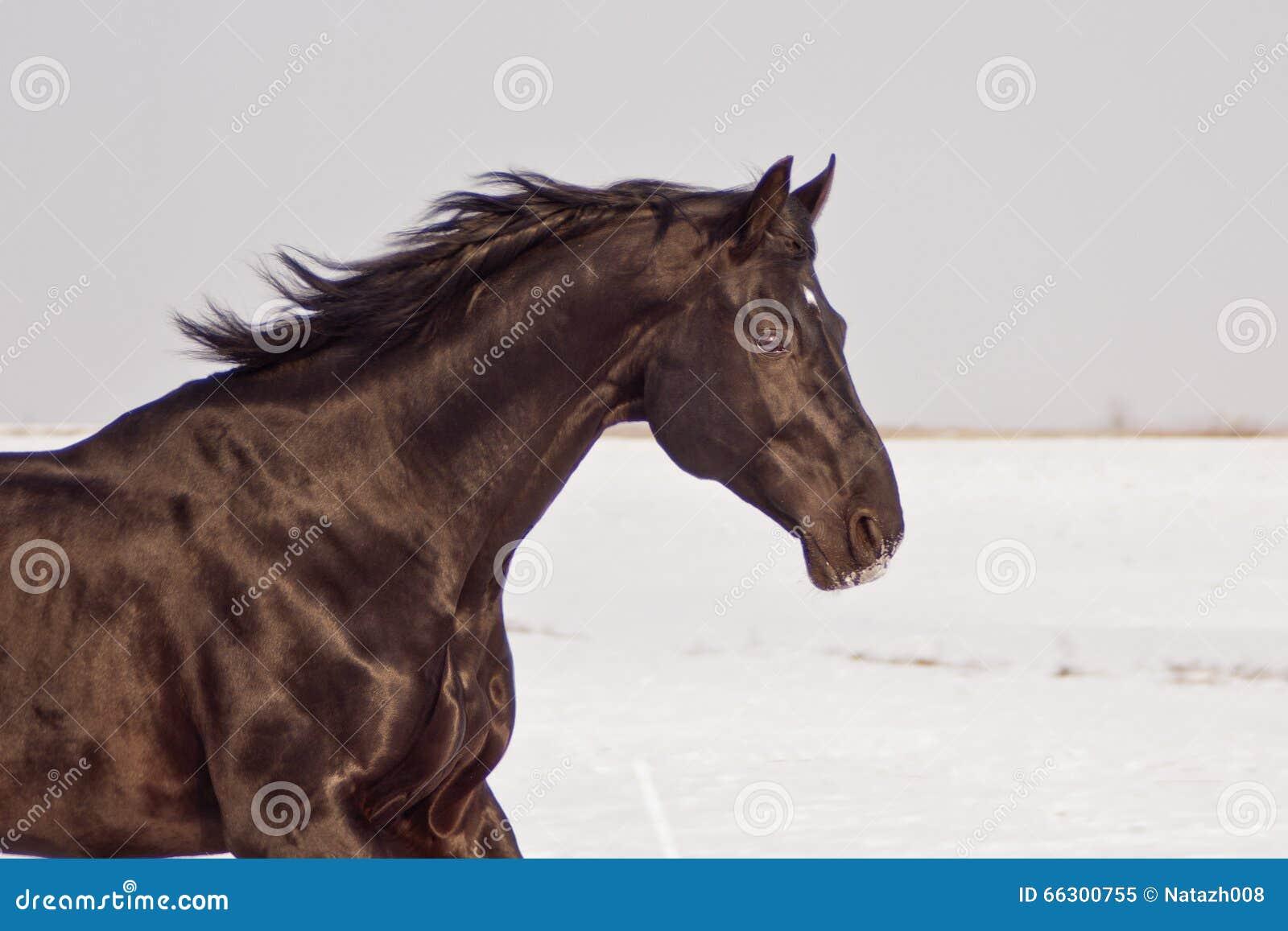 Dark Brown Horse Running Stock Photo - Image: 66300755