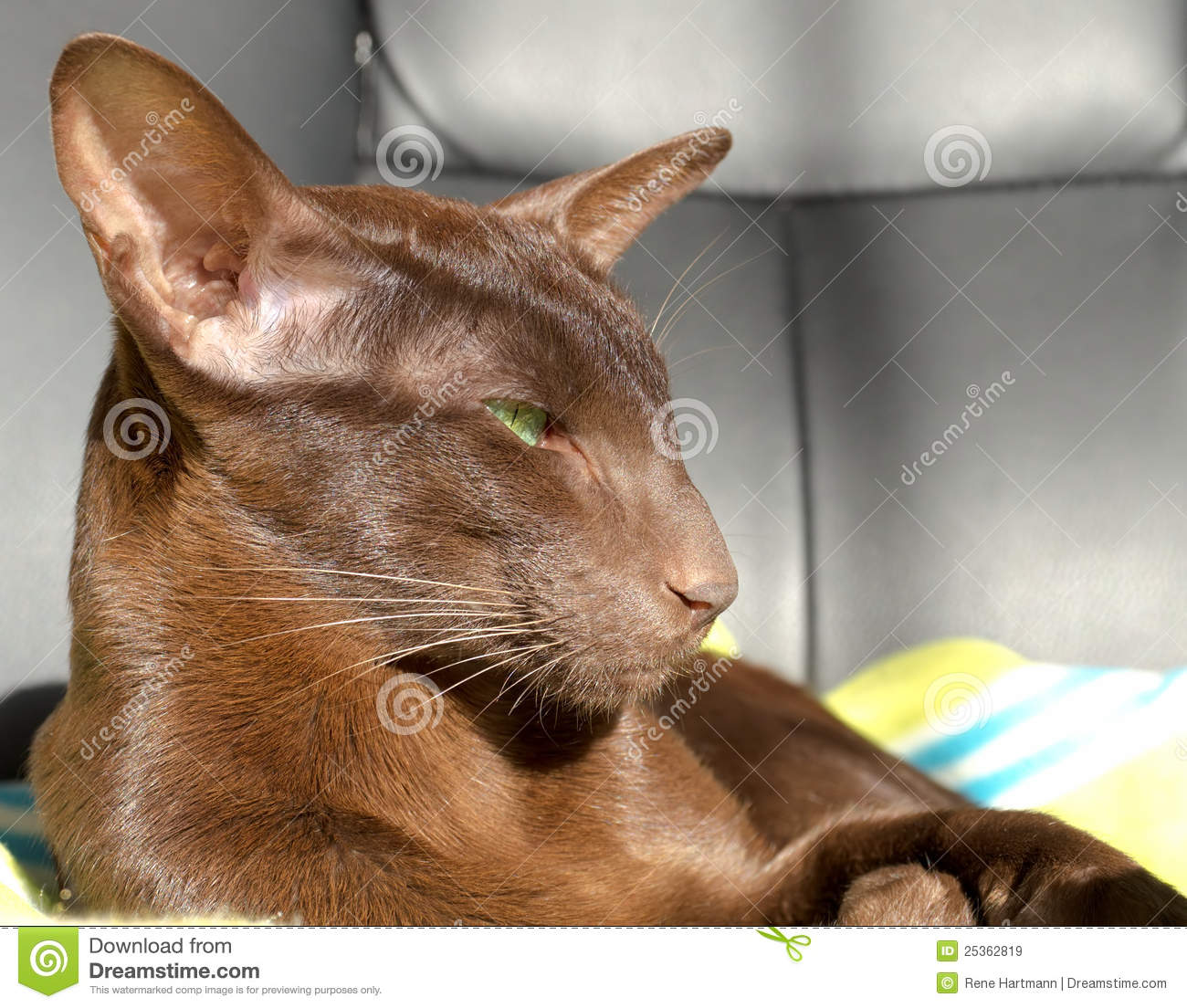 Dark Brown Oriental Cat With Green Eyes Royalty Free Stock