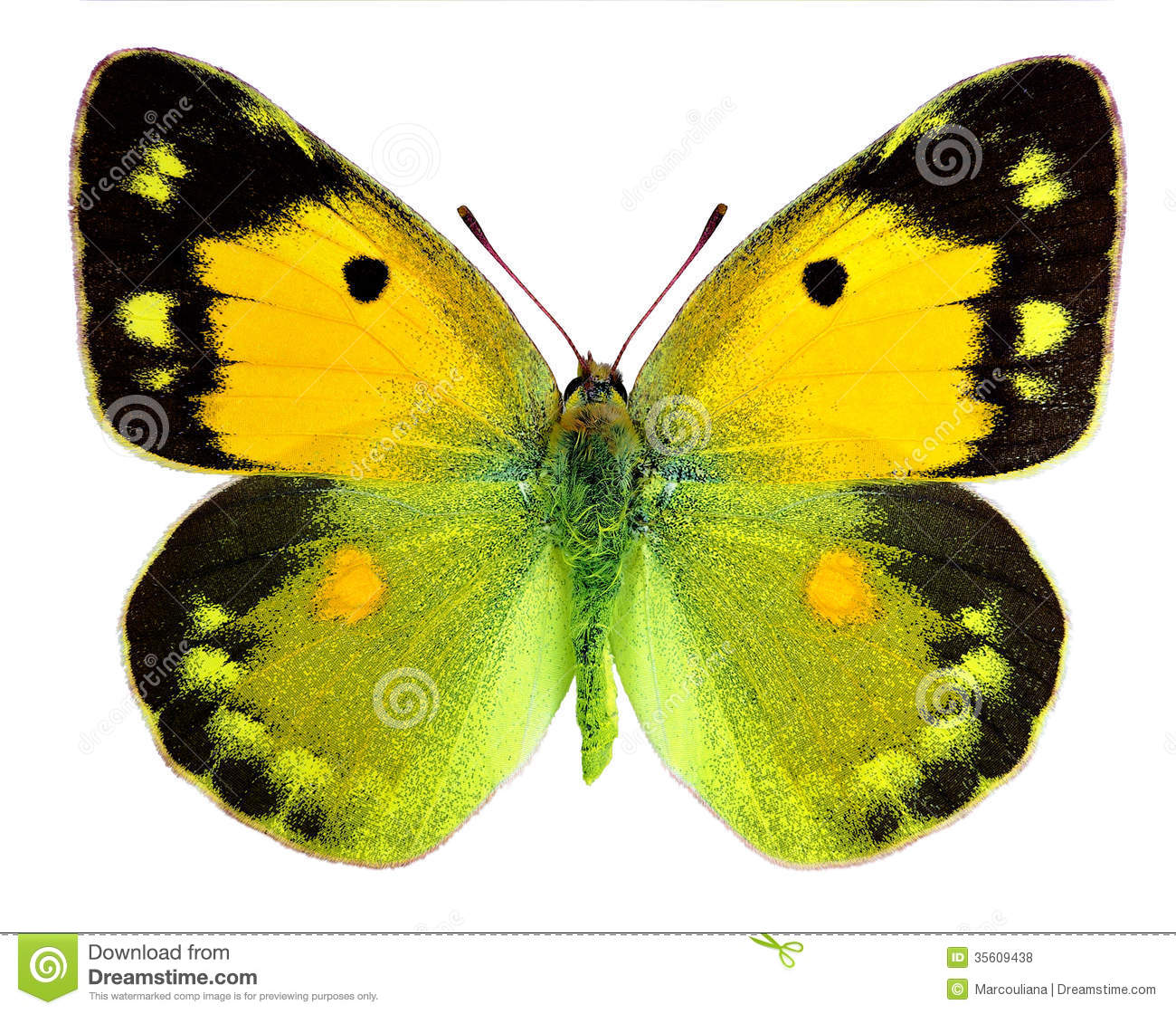 dark clouded yellow butterfly colias croceus royalty free stock