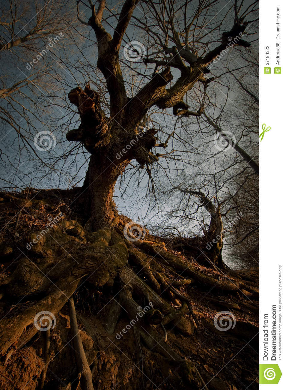 Dark creepy tree with big roots at sunset stock photo for Creepy trees for halloween