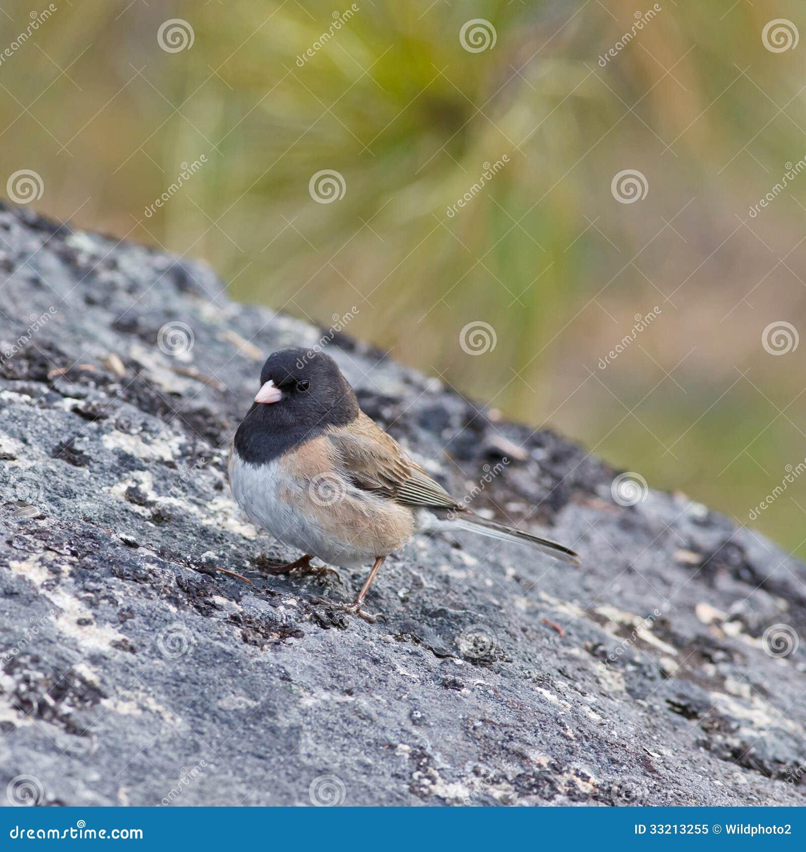 Dark-eyed Junco on a rock
