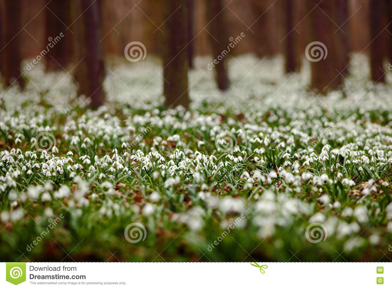 Dark Forest Full Of Snowdrop Flowers In Spring Season Wide Angle