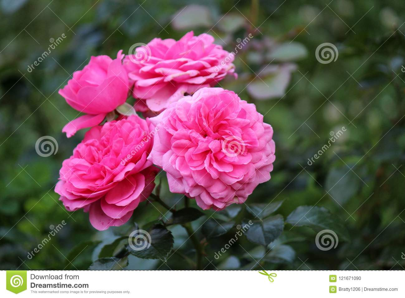 Dark Green Background Of Rose Bush Leaves With Bright Pink Petals Of