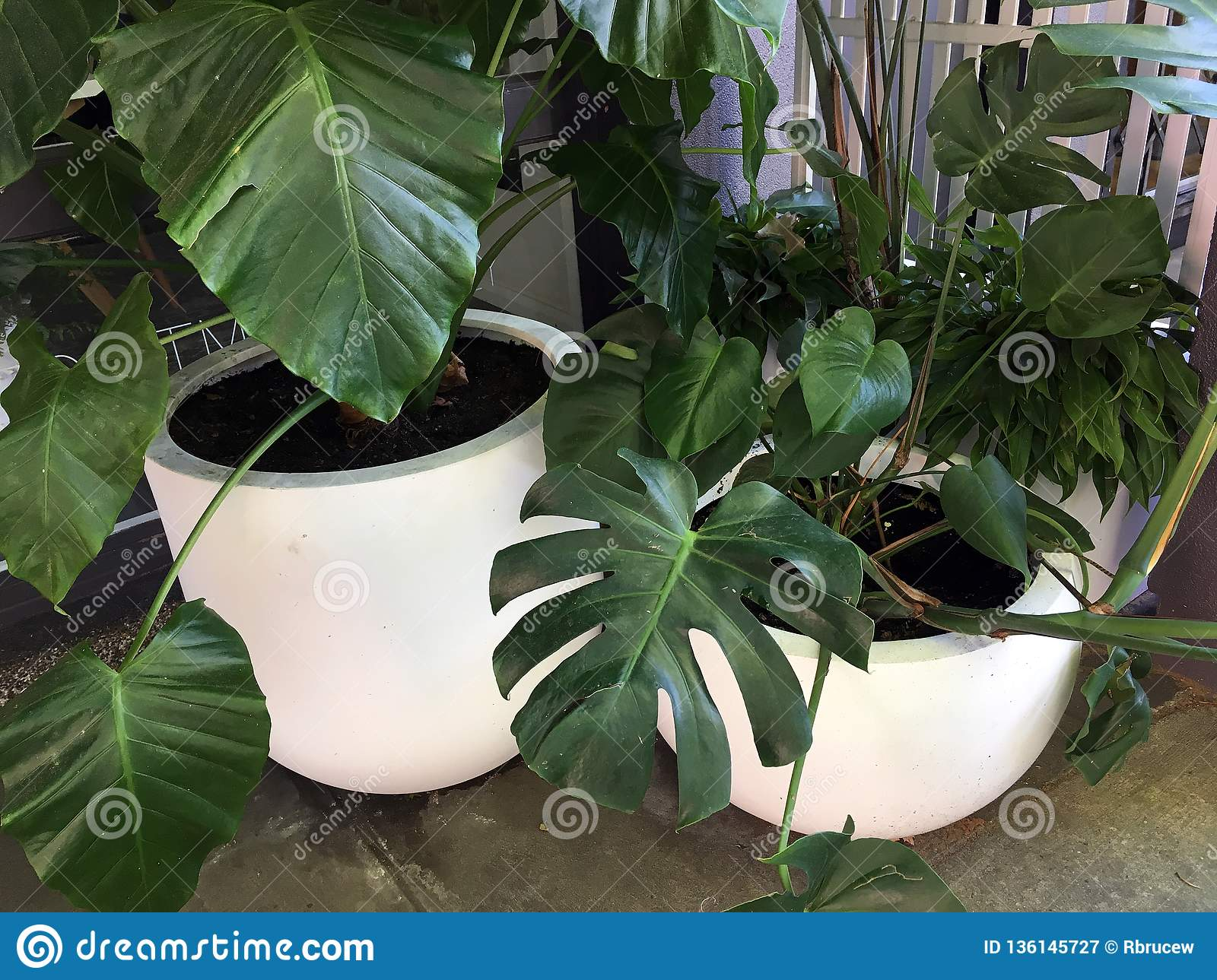 Broad Leaf Green Shrub In Large White Pots Stock Image Image Of