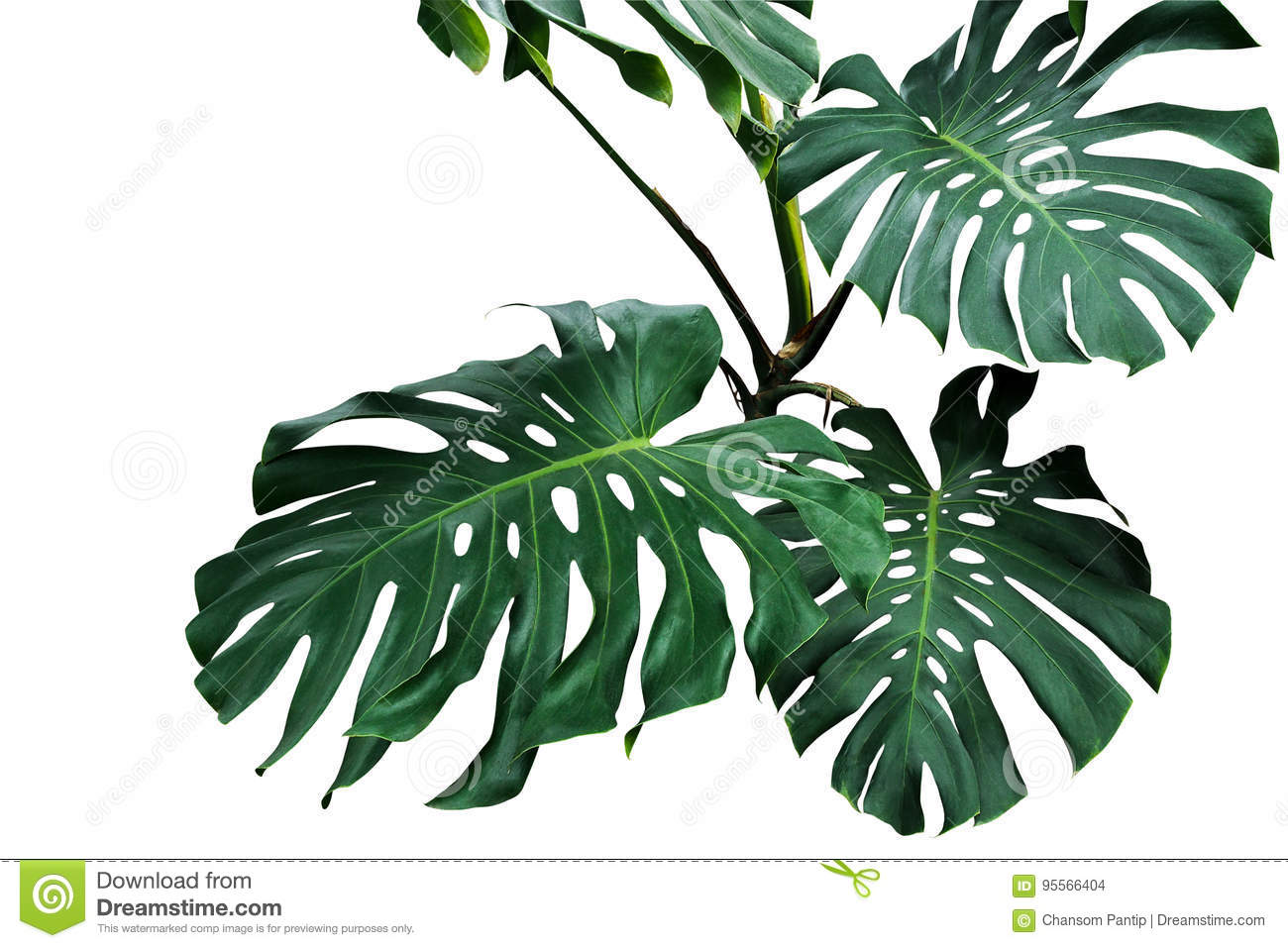 Dark green leaves of monstera or split-leaf philodendron Monste