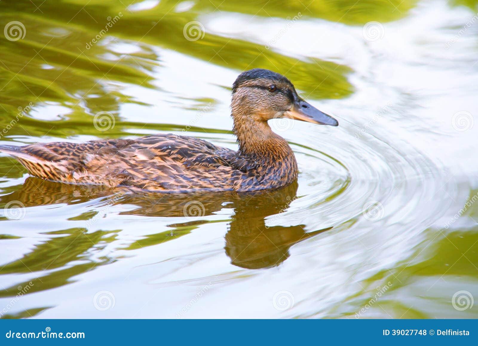 Duck in green water - Stock Photos