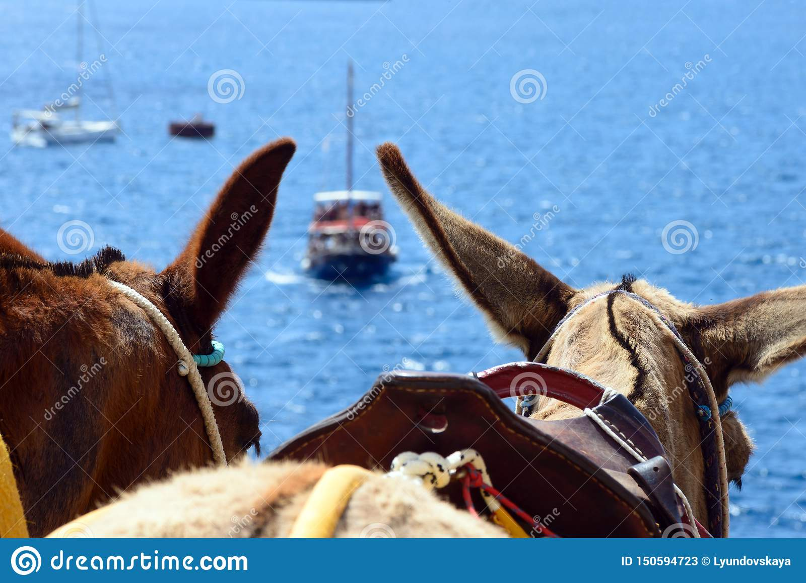 Dark horse ears, traditional transport on the island of Santorini.