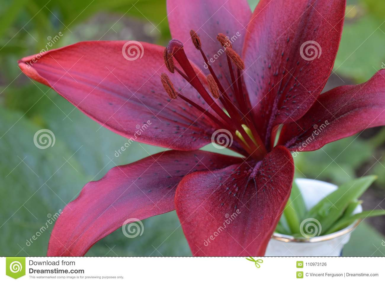 Lily maroon flower on green stock photo image of lily lilium lily maroon flower on green izmirmasajfo