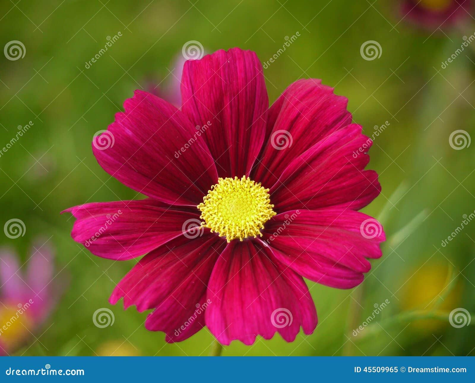 Dark pink cosmos flower stock image image of garden 45509965 dark pink cosmos flower mightylinksfo
