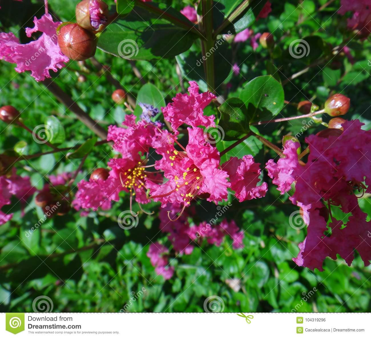 Dark pink crape myrtle flower stock photo image of blooming download dark pink crape myrtle flower stock photo image of blooming detail 104319296 mightylinksfo