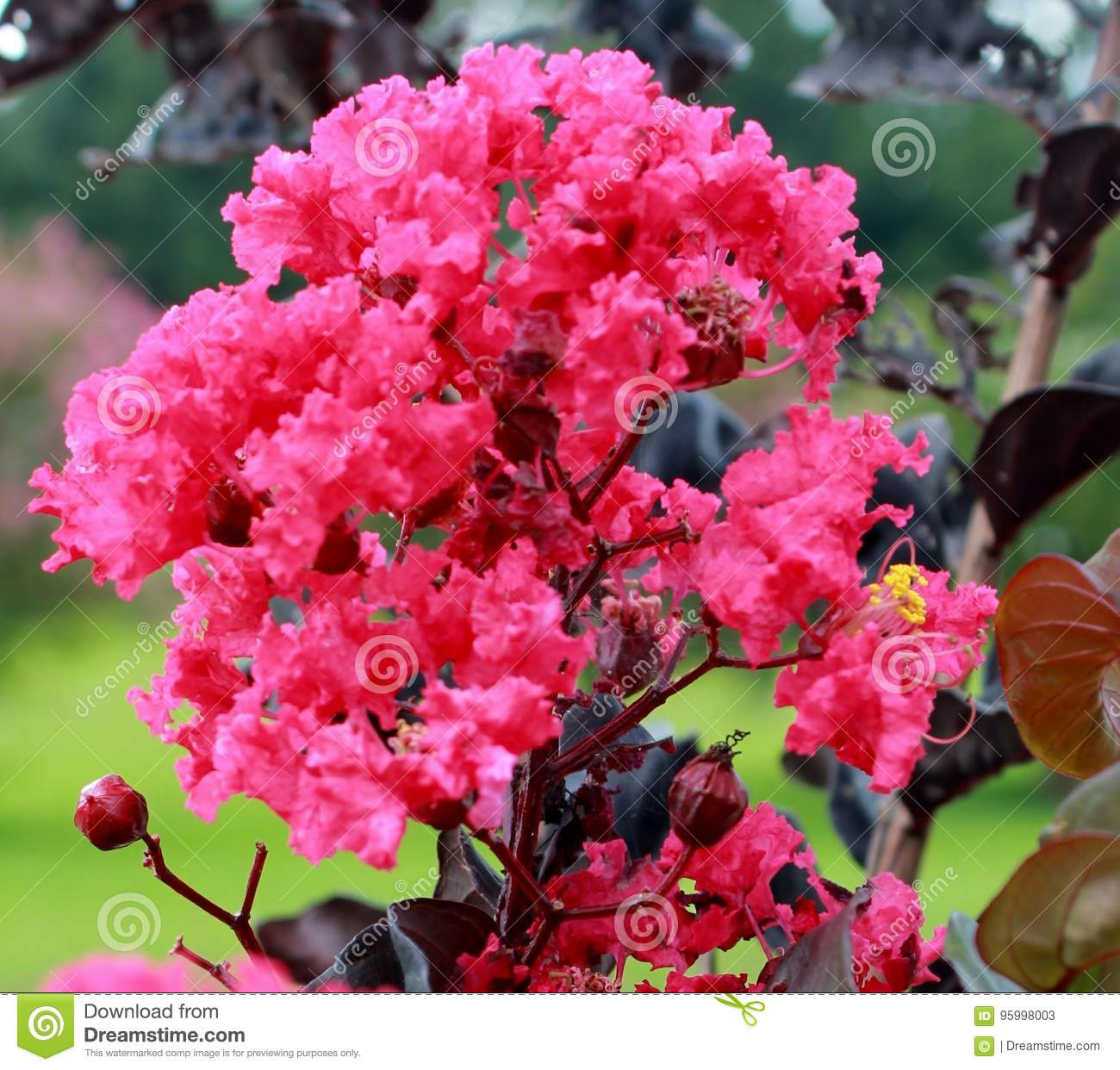 Dark pink flowering tree images fresh lotus flowers dark pink crepe myrtle blossoms stock image image of shrubs pink mightylinksfo