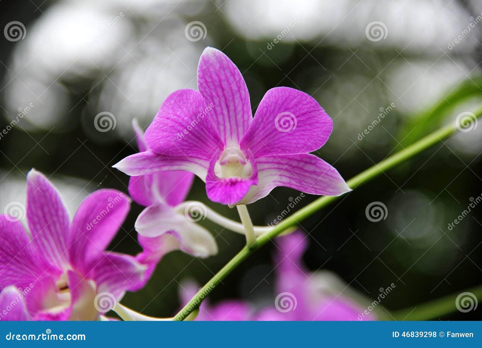 Moth Orchid Phalaenopsis Hybrid