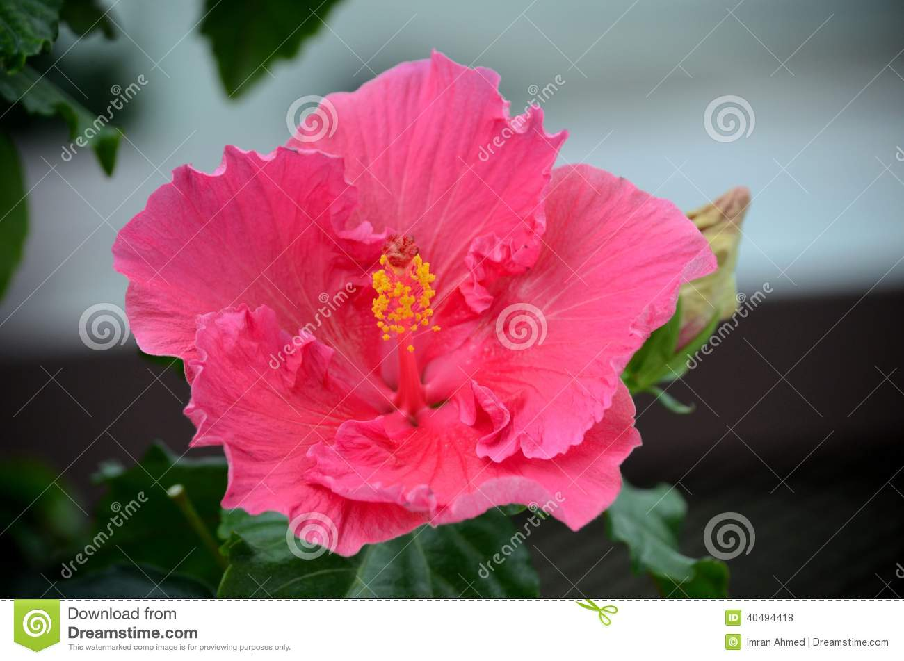 Dark Pink Flower Close Up With Stamen And Pistils Stock Photo