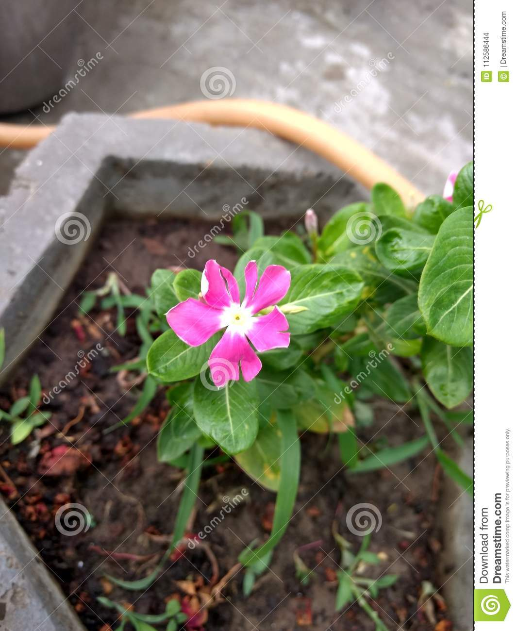 Cute Small Pink Flower In Pot Stock Photo Image Of Dark Cute
