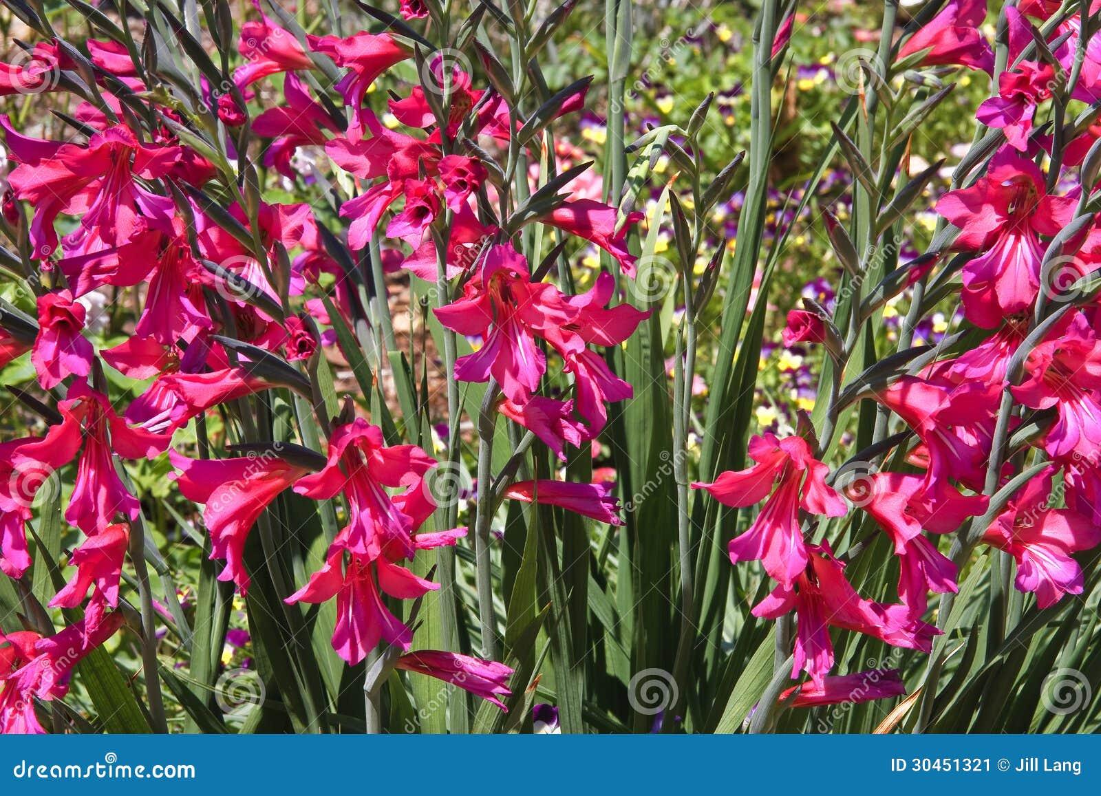 Dark Pink Flowers Stock Image Image Of Gardens Flower 30451321