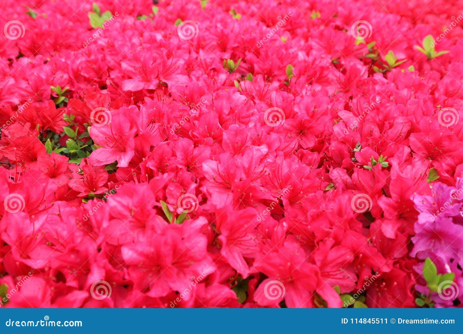 Dark Pink Flowers Plenty Blooming Stock Image Image Of Japanese