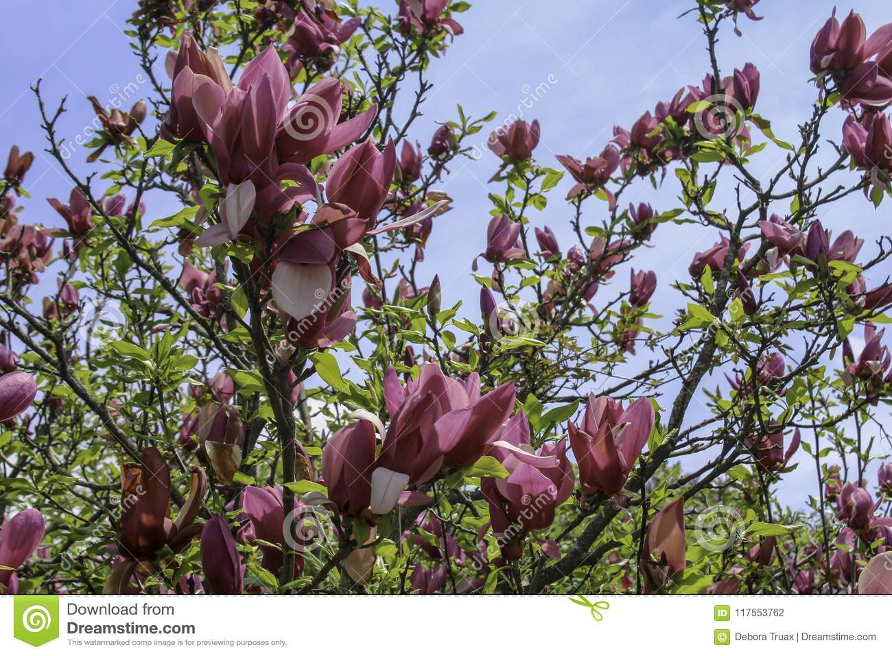 Dark Pink Magnolia Blossoms In The Spring Stock Photo Image Of
