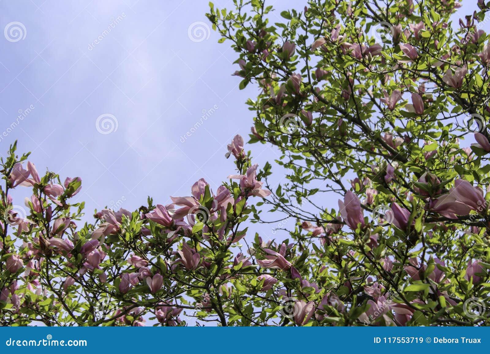 Dark pink magnolia flowers on tree branch stock image image of dark pink magnolia flowers on tree branch mightylinksfo