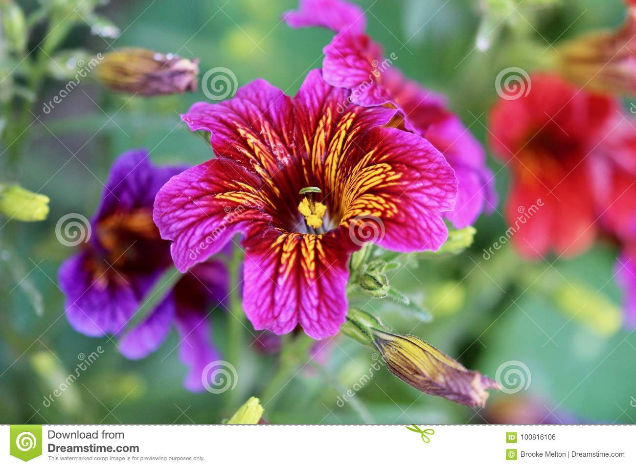 Dark Pink And Purple Flowers With Yellow Stripes Stock Photo Image