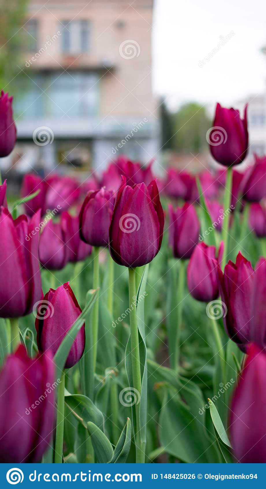 Dark pink tulips in the city park.