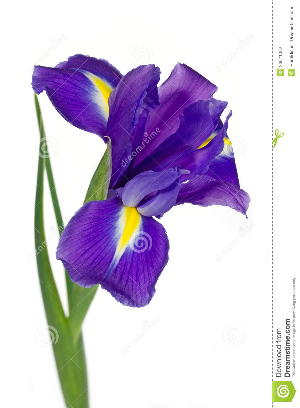 dark purple iris flower stock photography  image, Beautiful flower