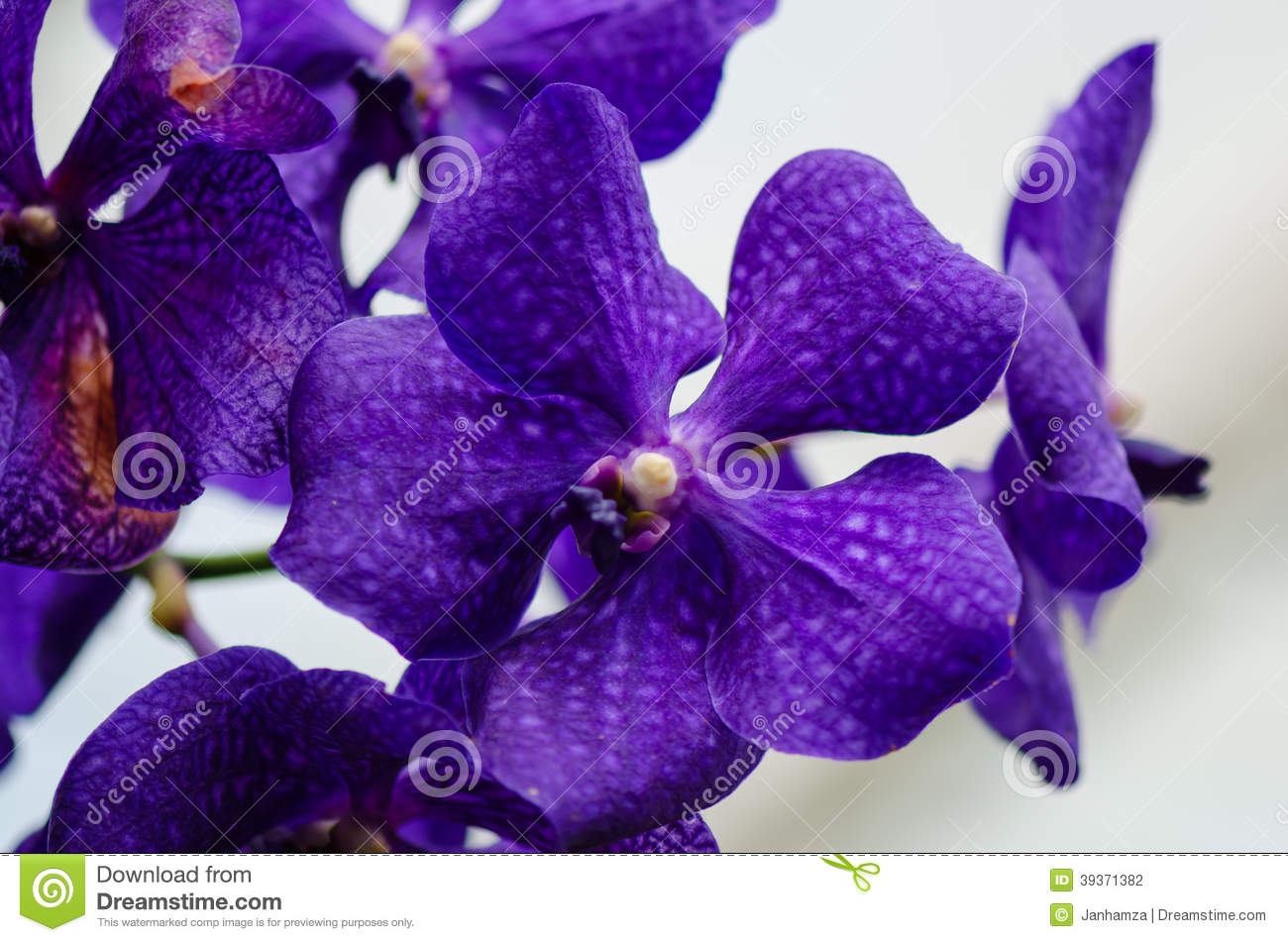 dark purple orchid blossom close up with blured light blue stock, Beautiful flower