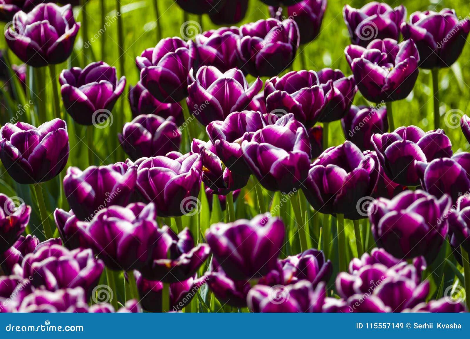 dark purple tulips background stock image image of botany