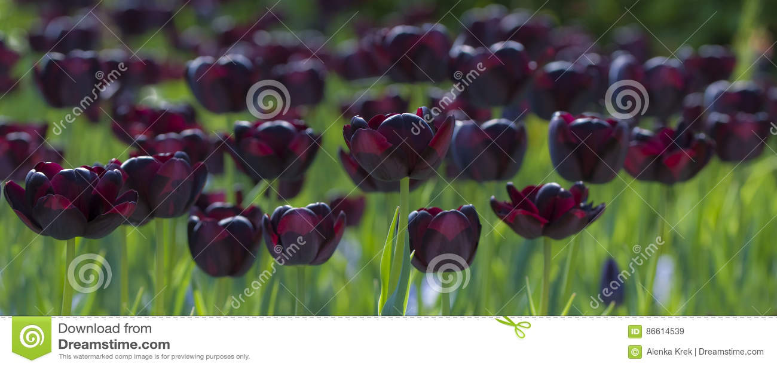dark purple tulips or black tulips in the park stock image image