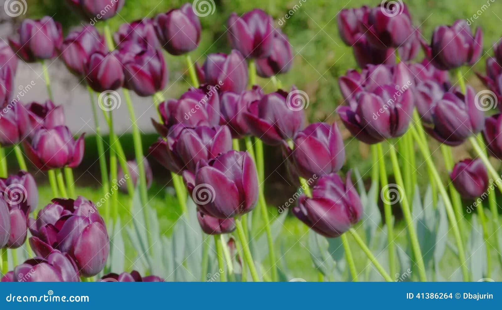 dark purple tulips stock footage image of growth floral 41386264