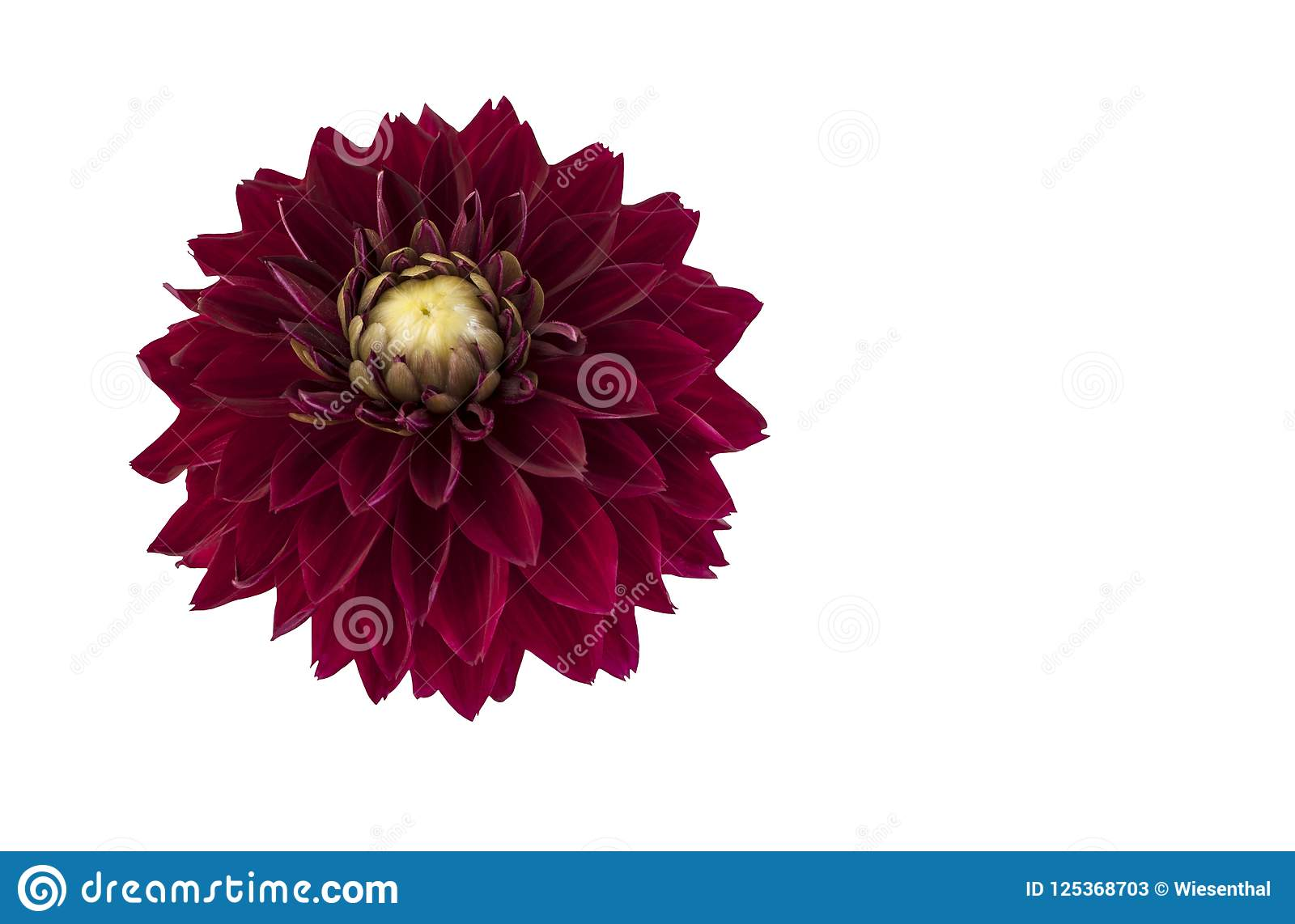 Dark Red Dahlia Flower Stock Image Image Of Blooming 125368703