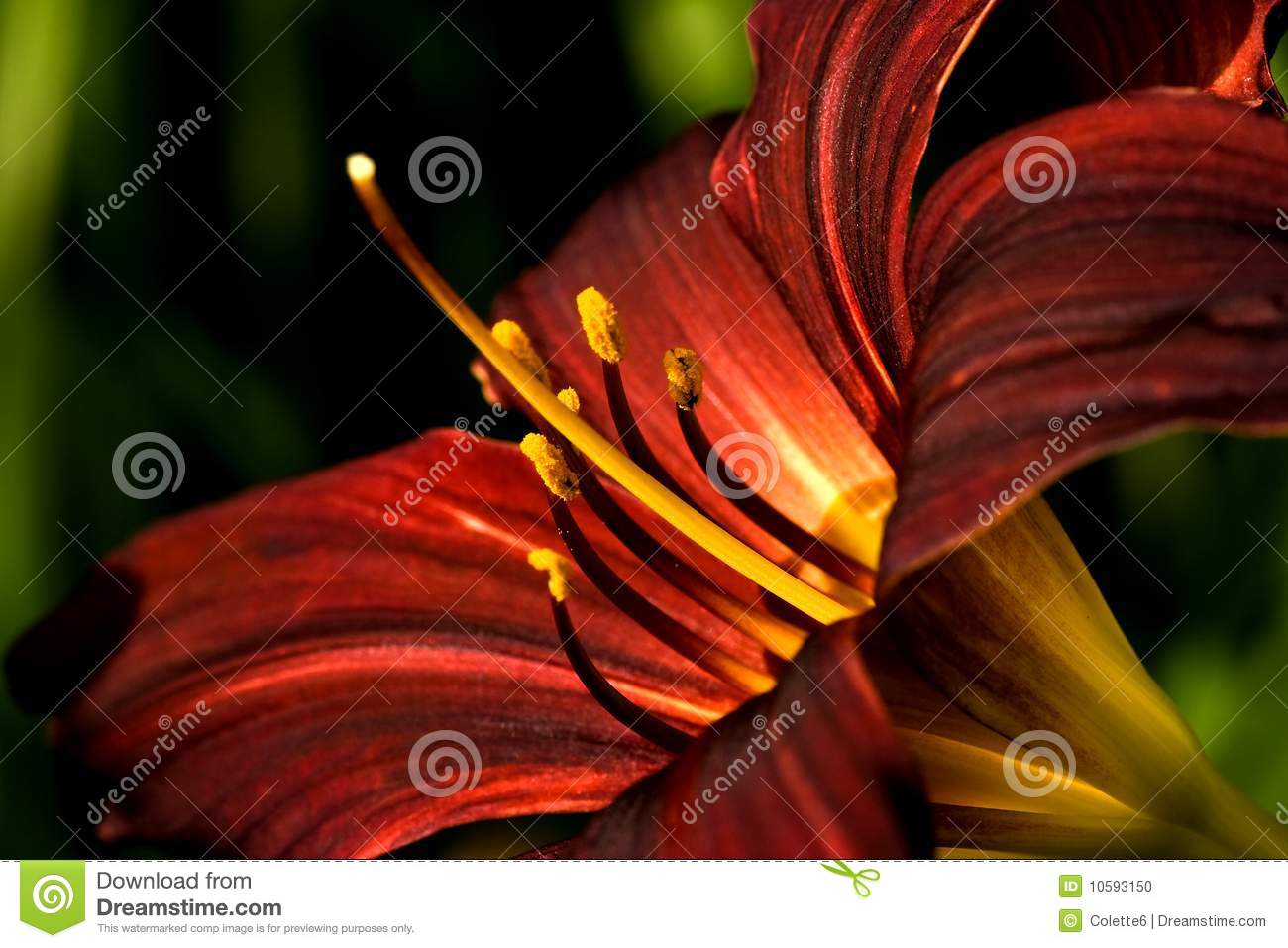 Dark red daylily in close view
