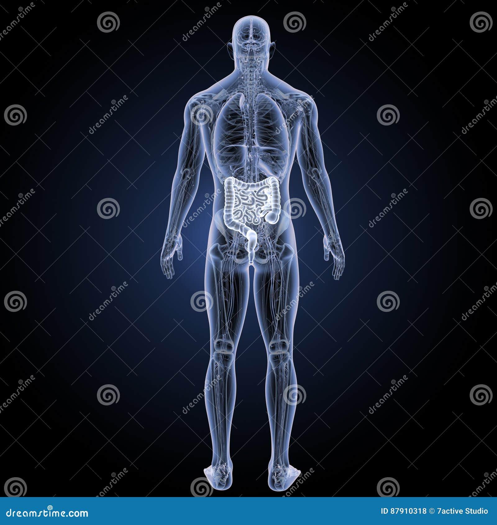 Darm Mit Anatomierückansicht Stock Abbildung - Illustration von ...