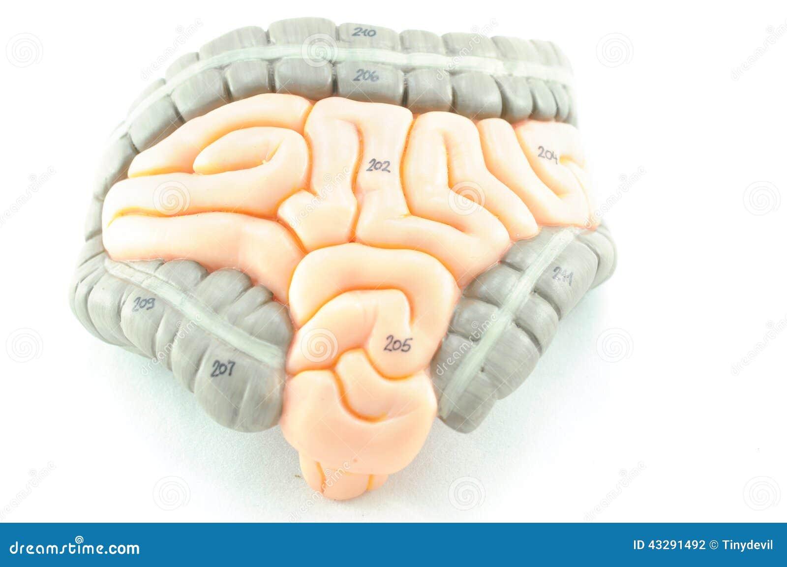 Darm, Organ des Menschen stock abbildung. Illustration von schwarzes ...