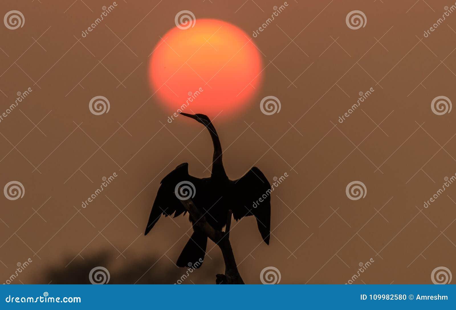 Darter avec le coucher du soleil