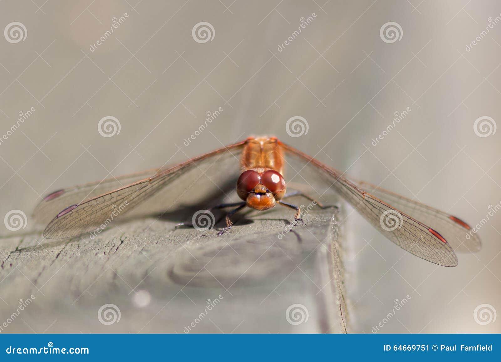 Darter común (striolatum de Sympetrum)
