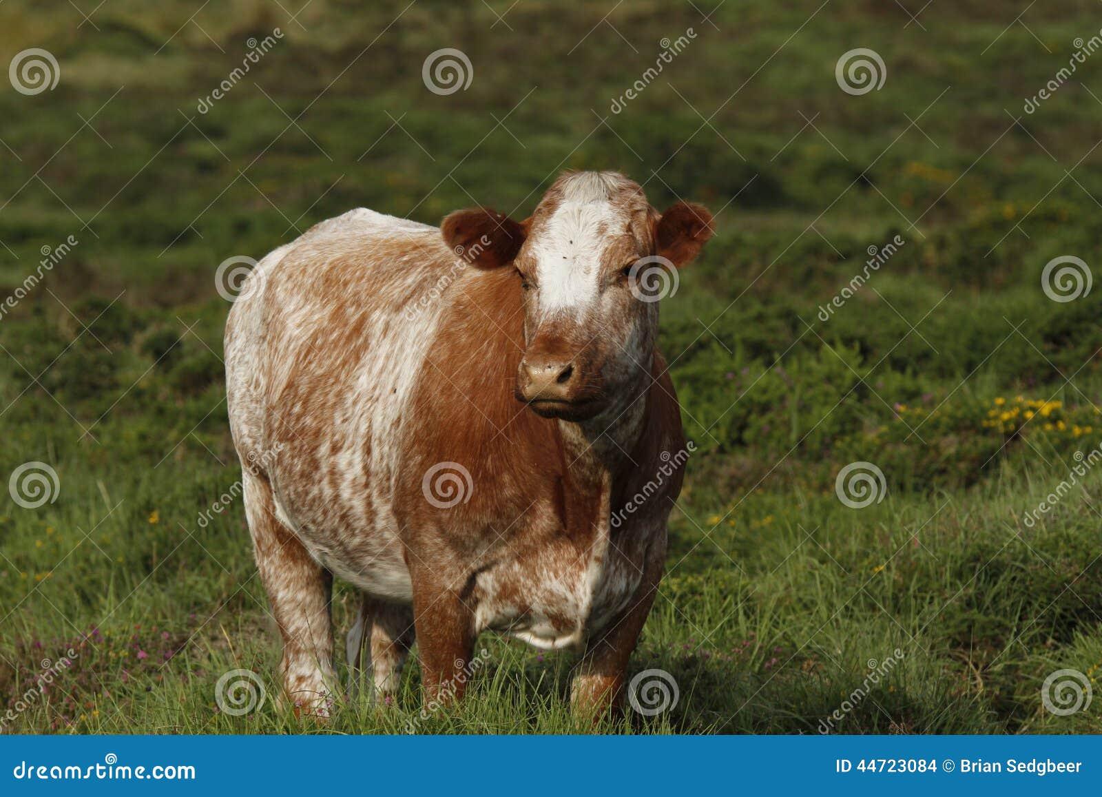 Dartmoor bydło