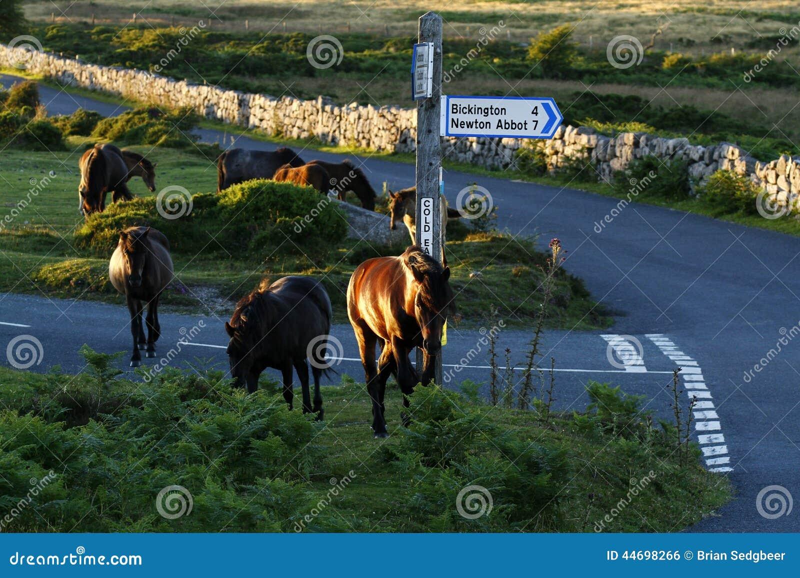 Dartmoor Pony Herd
