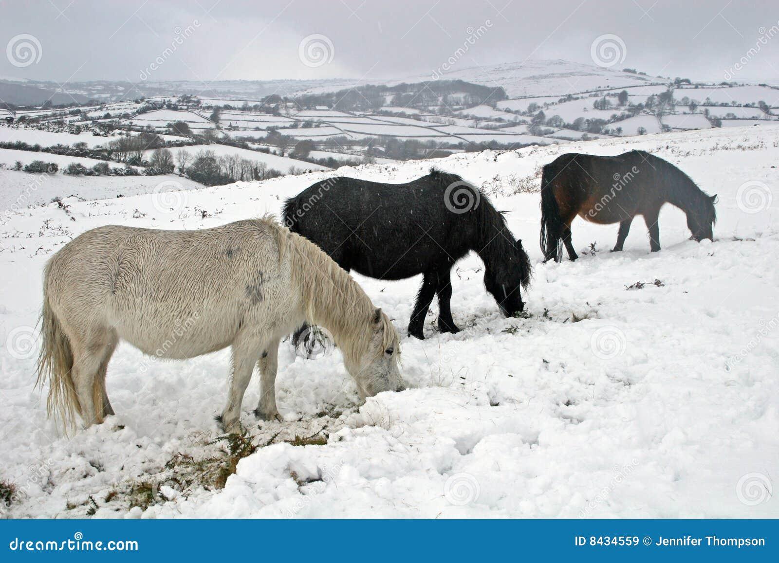 Dartmoor wild ponies in the snow