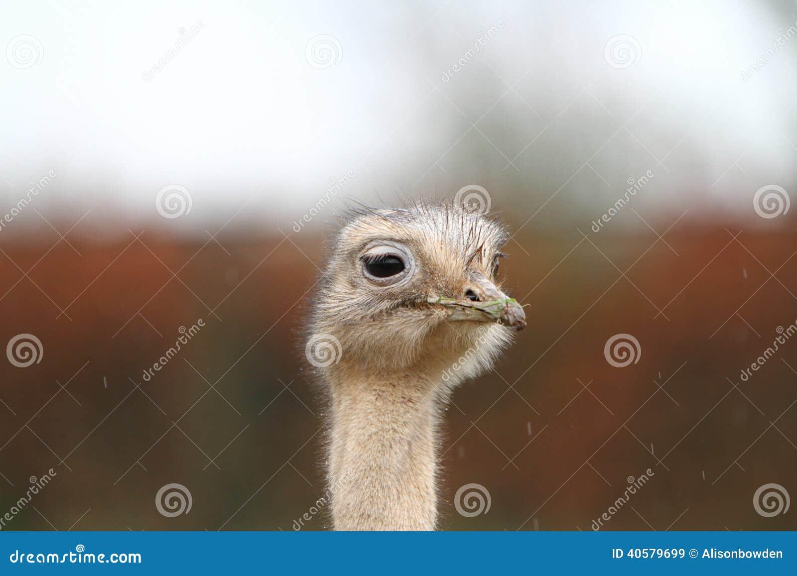 Darwin rhea s
