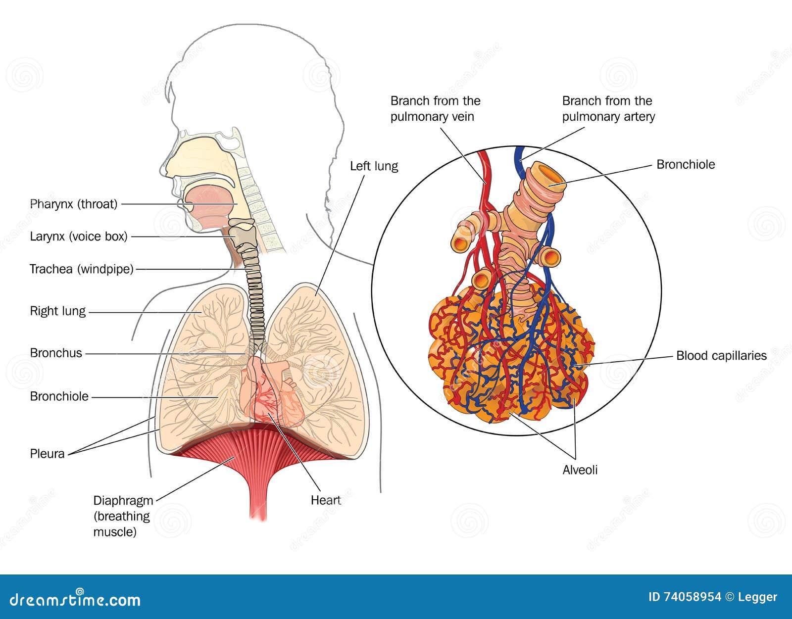 Ausgezeichnet Das Atmungssystem Anatomie Fotos - Menschliche ...