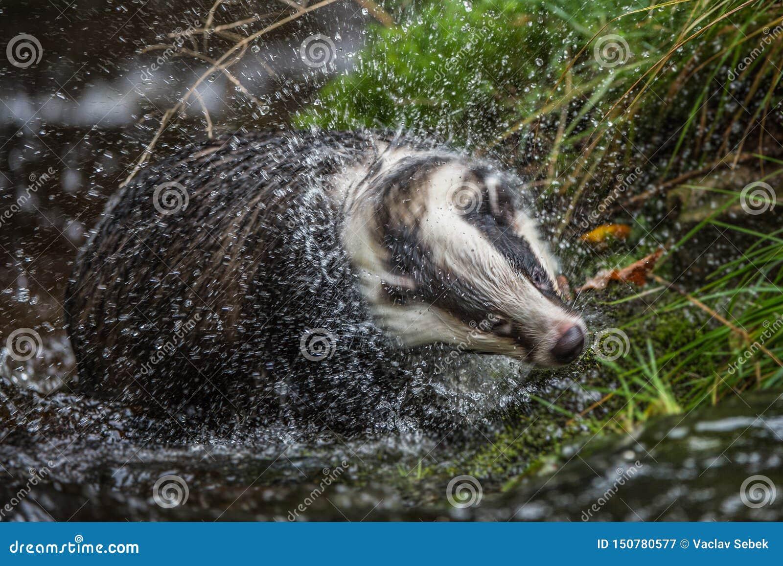 Das in bos, dier in aardhabitat, Duitsland, Europa Wilde Das, Meles meles, dier in het hout Zoogdier in milieu,
