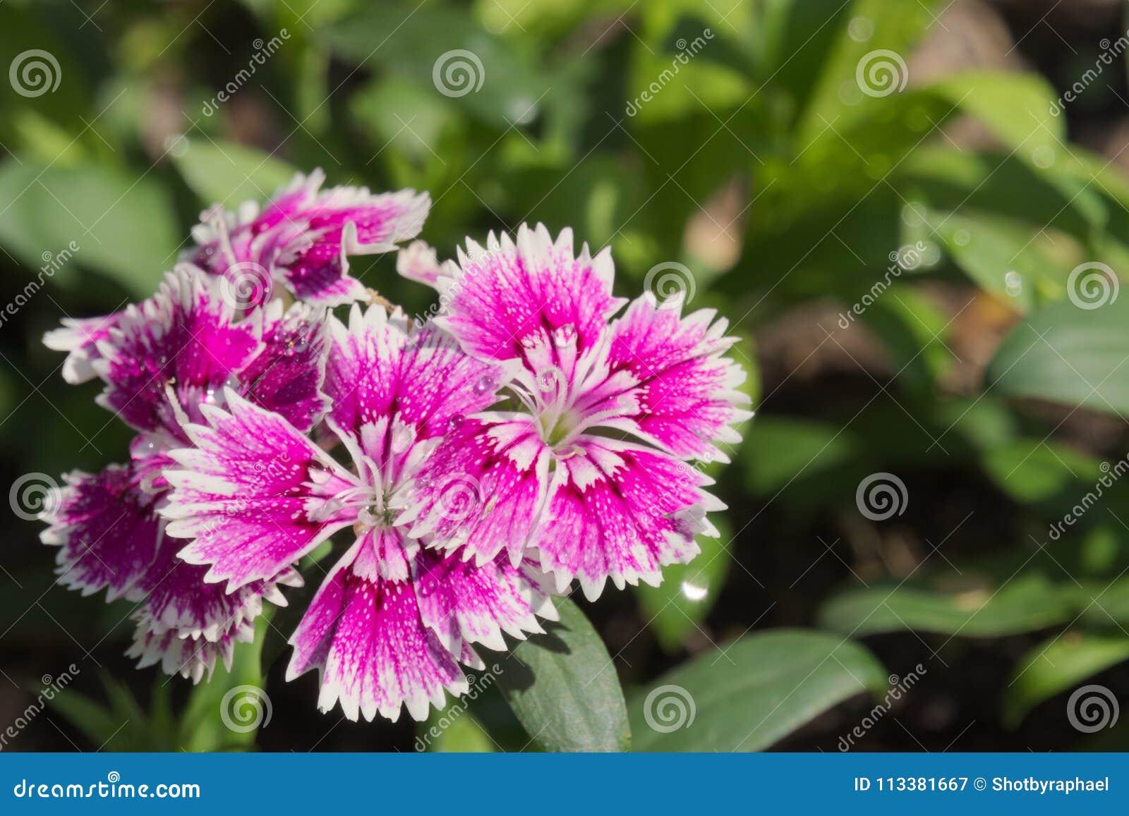 Das erstaunlich schöne Wachsen der purpurroten und weißen Blumen in einem thailändischen Garten parken