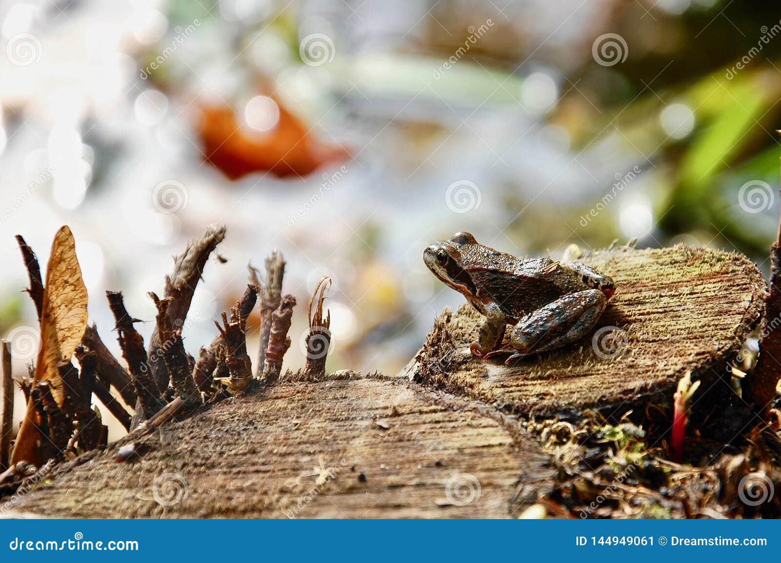 Das europäische allgemeine braune Grasfrosch Rana temporaria auf hölzernem Stumpf