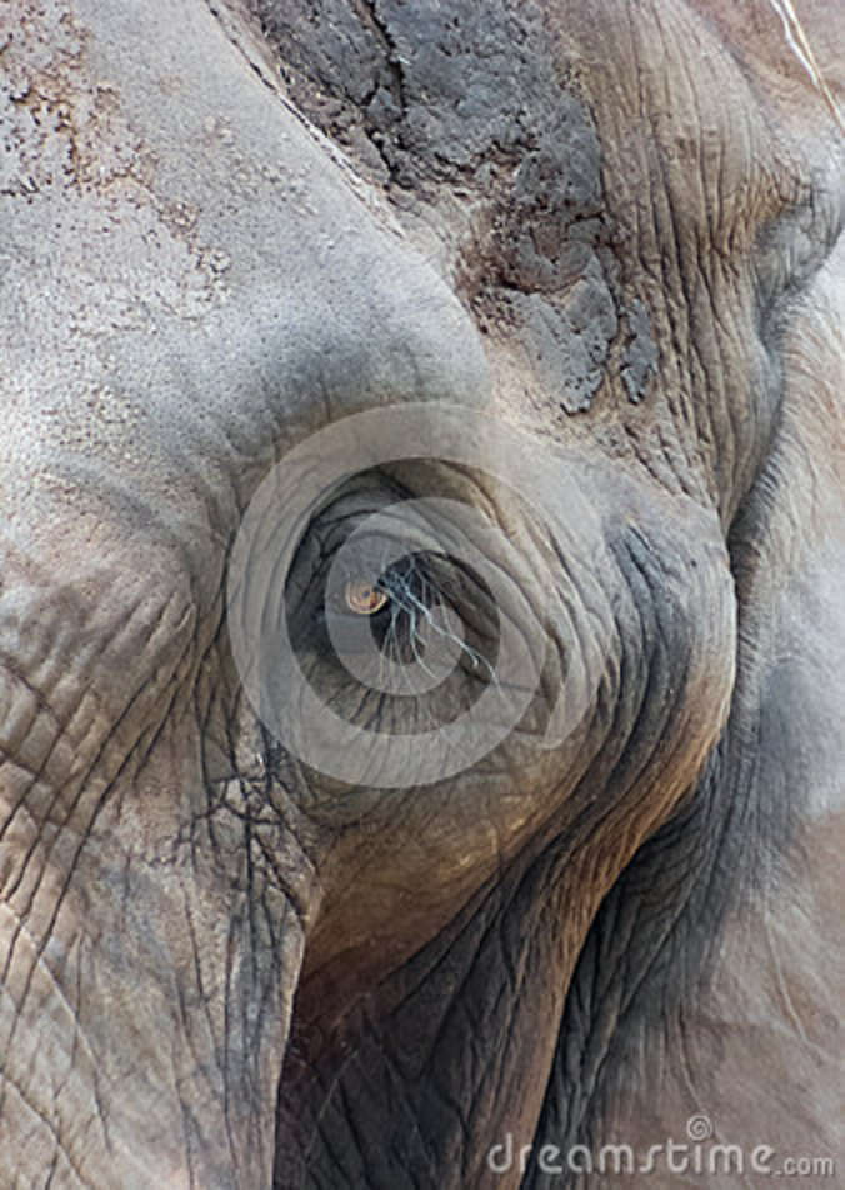 Das Gesicht des indischen Elefanten