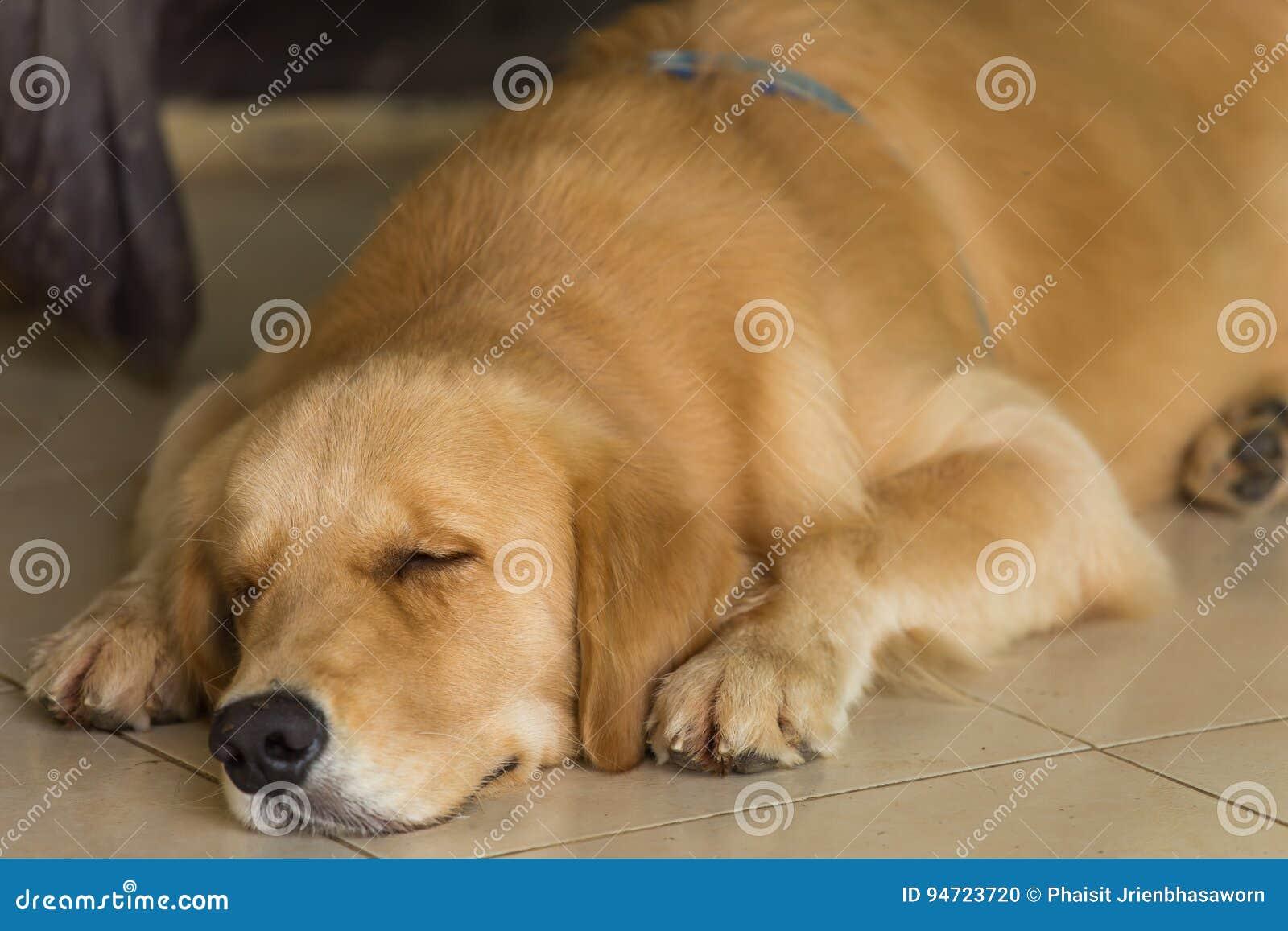 Das golden retriever schläft