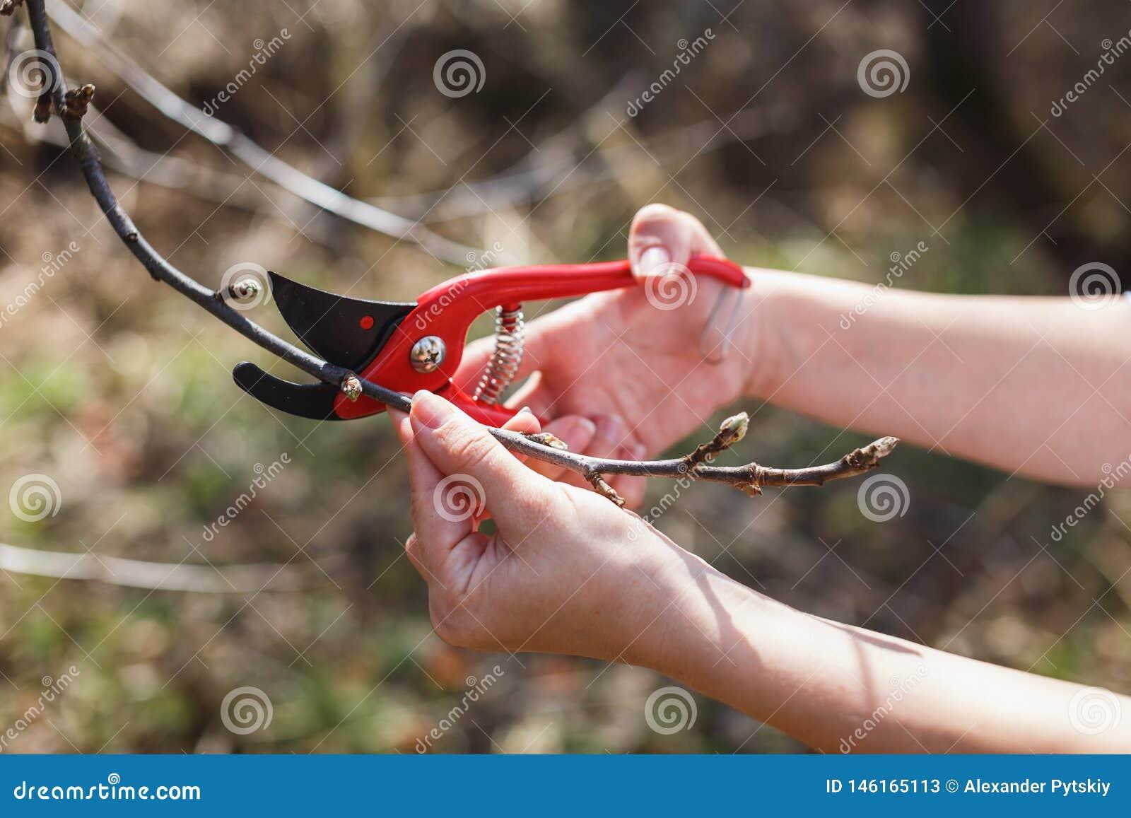Das M?dchen schnitt die Niederlassungen der roten Baumschere des Apfels im Garten ab